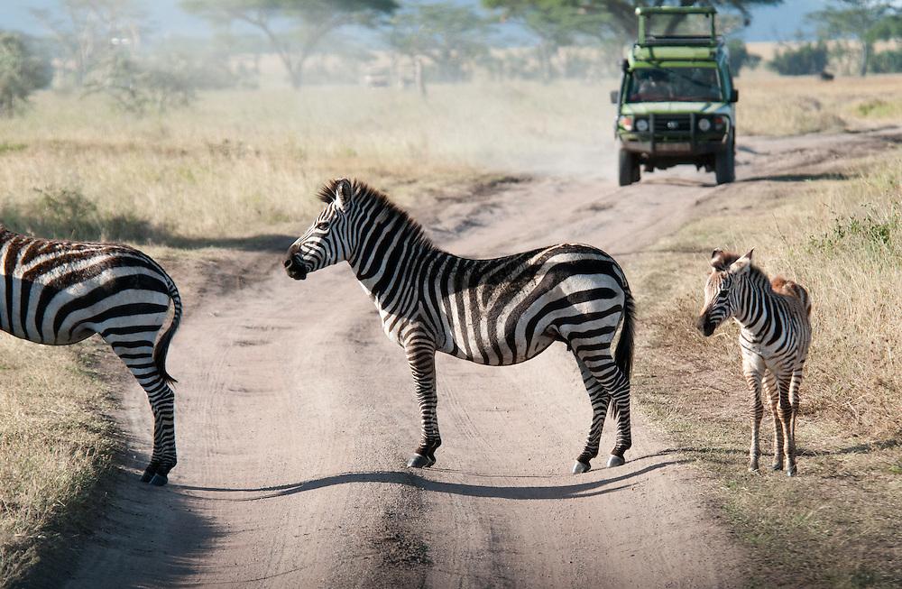 Zebras crossing the road