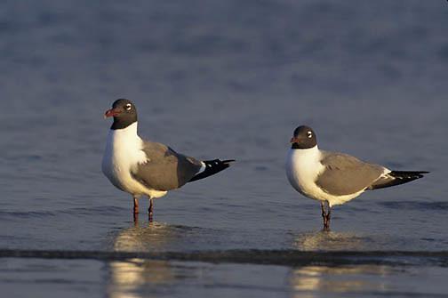 Laughing Gull, (Larus atricilla) Florida.