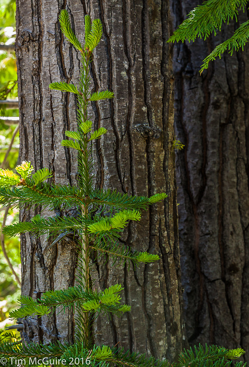 Forest Details, North Cascades, Washington.