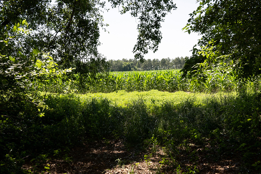 The field corn seen from the entrance to the timber section of the Longleaf Ridge Farm.