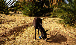 A tethered donkey in a field at a small oasis near Mhamid in southern Morocco<br /> <br /> (c) Andrew Wilson | Edinburgh Elite media