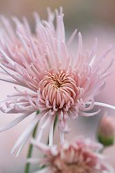 Chrysanthemum 'Pink Splendour'