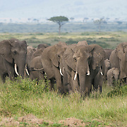 African Elephant (Loxodonta africana) on the Serengeti Plains, Masai Mara National Reserve, Kenya Africa
