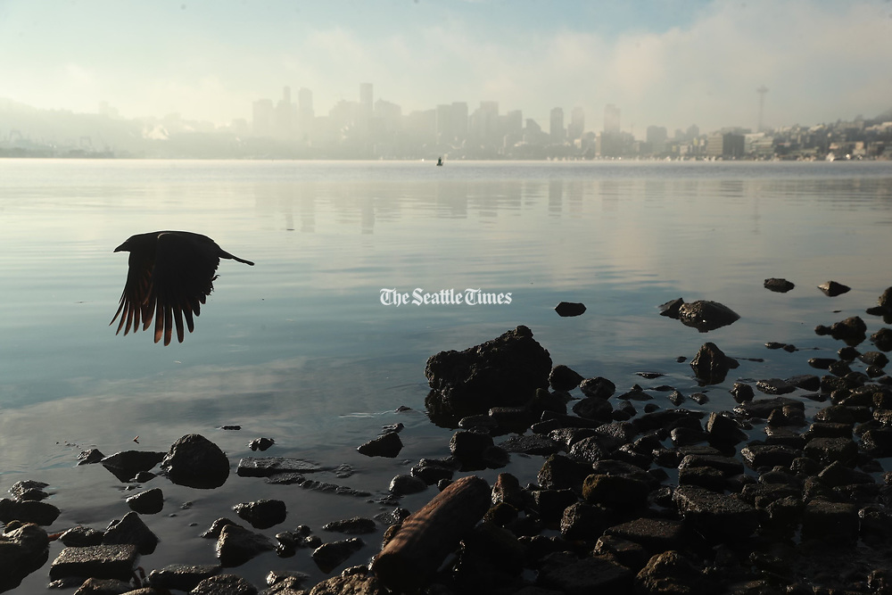 A bird flies past a foggy Seattle skyline at Gasworks Park. (Erika Schultz / The Seattle Times)