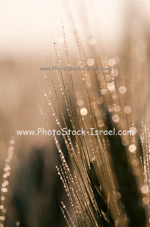 Israel, Golan Heights, Triticum Wheat field early morning Dew drops