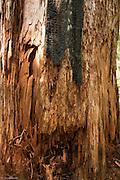 Red cedar snag with fire scar.