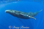humpback whale, Megaptera novaeangliae,  Maui, Hawaii, Hawaii Humpback Whale National Marine Sanctuary, USA ( Central Pacific Ocean )