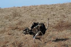 24-10-2008 REPORTAGE: KILIMANJARO CHALLENGE 2008: TANZANIA <br /> De dag van De Ngorongoro-krater, de grootste intakte caldera (ingestorte vulkaankegel) ter wereld. Hij bevindt zich ten noordwesten van Arusha in Tanzania / Wild, dieren, Natuur, Struisvogel<br /> ©2008-FotoHoogendoorn.nl