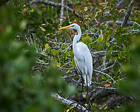 Great Egret perched on a tree. Biolab Road, Merritt Island National Wildlife Refuge. Image taken with a Nikon Df camera and 300 mm f/4  lens (ISO 800, 300 mm, f/5.6, 1/1250 sec).