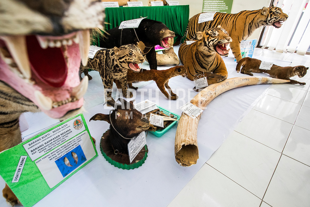 Stuffed exotic animals and other wildlife contraband at a police station in Banda Aceh, Sumatra Indonesia before they are destroyed after several busts of wildlife crime syndicates that had been operating in and around the Leuser Ecosystem, the last place on earth where tigers, rhinos, elephants, and orangutans still coexist under the same canopy. The syndicates have trade routes, spanning the globe and as illegal palm oil expansion moves into the last remaining blocks of forest allowing poachers easy access to some of the last iconic species. Photo: Paul Hilton for Earthtree