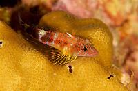 Triplefin species (Axoclinus sp?)<br /><br />Coiba Island<br />Coiba National Park<br />Panama<br /><br />Mona Lisa dive site