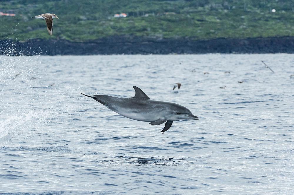 Atlantic Spotted Dolphin, Stenella frontalis, jumping near Pico Island, Azores, Portugal, North Atlantic Ocean.