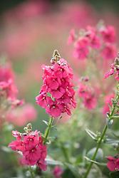 Diascia 'Sundiascia Rose Pink' syn.'Sunjodiropi' Sundiascia Series