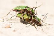 Green tiger beetles (Cicindela campestris) wrestling after mating. Surrey, UK.