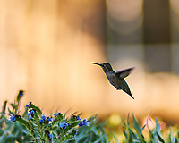 Anna's Hummingbird (Calypte anna). Oyster Cove, South San Francisco, California. Image taken with a Nikon D3x camera and 180 mm f/2.8 lens.
