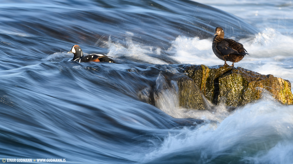 These birds  feed by swimming under water or diving. They also dabble. Photos taken at Myvatn, Iceland.