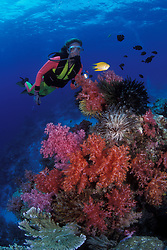 A diver observes a golden damselfish, Amblyglyphidodon aureus, while hovering above  lush colonies of soft coral and crinoids.  Similan Islands Marine National Park, Andaman Sea, Thailand, Indian Ocean