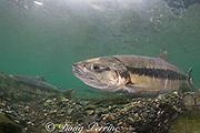 female or immature male chum salmon, dog salmon, silverbrite salmon, or keta salmon, Oncorhynchus keta, in spawning stream, Bear Trap, Port Gravina, Alaska, USA ( Prince William Sound )