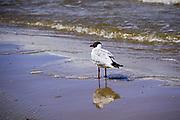 Seagull. Photographed in Jurmala, Latvia