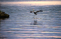 "A blue heron puts his ""landing gear"" down upon approach to Indian Island in Meredith Bay Tuesday evening.  (Karen Bobotas/for the Laconia Daily Sun)"