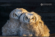 Pair of fledgling great horned owls at old wooden granary near Colllins, Montana, USA