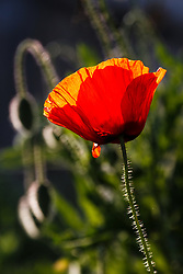 Red poppies, Block Creek Natural Area, Hill Country region, Texas, USA