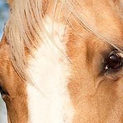 20090828 BK's Beautiful Palomino Quarter Horse Mare