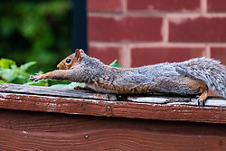 A Grey Squirrel (Scientific name Sciurus Carolinensison) streches out on a fence top during a brief visit to a small Sheffield suburban garden.<br /> <br /> 20 August 2021<br /> <br /> www.pauldaviddrabble.co.uk<br /> All Images Copyright Paul David Drabble - <br /> All rights Reserved - <br /> Moral Rights Asserted -