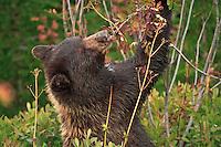 Black Bear cub (Ursus americanus) eating mountain ash berries in autumn color in Mount Rainier National Park, Washington, USA