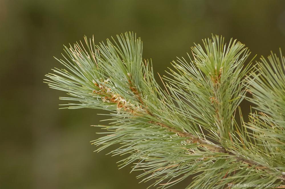 Pine needles of southwestern white pine (Pinus strobiformis), Coronado National Forest, Arizona