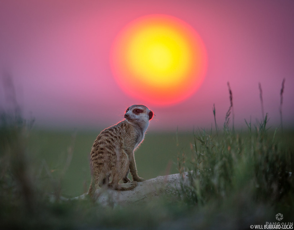 A meerkat and the setting African sun.