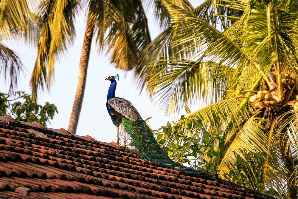 Kandi, Sri Lanka. Peacock on the roof of a house