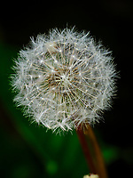 Dandelion seeds.  Image taken with a Fuji X-H1 camera and 200 mm f/2 OIS lens + 1.4x teleconverter (ISO 200, 280 mm, f/5, 1/420 sec).