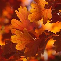 """That Glow"" <br /> <br /> Beautiful oak leaves all aglow in autumn sunlight!"