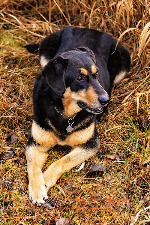 A contented dog rests in a field of matted yellow grass, in Campbell Valley Park, Langley British Columbia, Canada.                                                    <br /> <br /> Headline:  A happy dog rests in a field of matted yellow grass, Langley British Columbia, Canada.