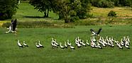 Młode bociany uczą się latać