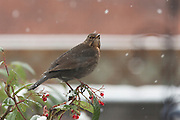 Female blackbird perched on the top of a cotoneaster plant during falling snow during January in an urban garden.