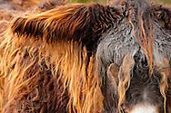 """Poitou Donkey (Baudet de Poitou) (Equus asinus asinus) portrait, heaviest donkey in world, a weigh to 450 kg. Poitou donkey is a giant donkey and an endangered domestic animal. The originating country is France. Typical is the red brown long shaggy coat, called a """"cadanette"""". The area around eyes and mouth is silvery white. It's normal the hairs felting. Since Middle Ages poitou donkeys used as breeding and transport animals in agriculture. Cleeberg, Langgoens, Hesse, Germany.This picture is part of the series """"Creature's Coiffure""""..Poitou-Esel (La Baudet de Poitou) (Equus asinus asinus).Portrait. Es ist der schwerste Esel der Welt und kann bis zu 450 kg wiegen. Der Poitou-Esel gehört zu den Rieseneseln und ist eine bedrohte Haustierrasse. Sein Ursprungsland ist Frankreich. Charakteristisch ist sein rot-braunes langes Zottelfell. Die Augen- und Maulpartie ist weiss silbrig. Es ist normal, dass die Haare zu dicken Zotteln verfilzen. Poitou-Esel gibt es seit dem frühen Mittelalter und wurden in der Landwirtschaft, als Zucht- und Transporttiere eingesetzt. Cleeberg, Langgoens, Hessen, Deutschland.Dieses Bild ist Teil der Serie ,,Die Frisur der Kreatur"""""""