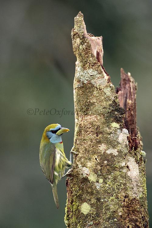 Versicolored Barbet (f)<br />Eubucco versicolor<br />Manu Cloud Forest, Manu National Park.  PERU   South America<br />Range; Andes of Peru and Bolivia