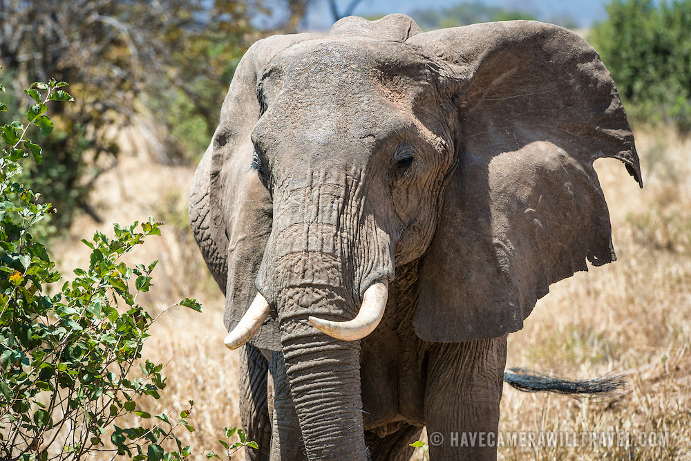 An adult elephant at Tarangire National Park in northern Tanzania not far from Ngorongoro Crater and the Serengeti.