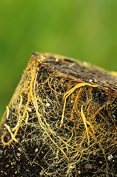 Example of good quality root ball. Shows what to look for when buying from a garden centre