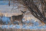 Whitetail deer (Odocoileus virginianus) Whitetail deer (Odocoileus virginianus) during the autumn rut