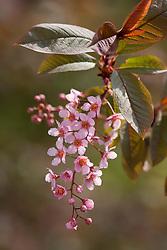 Prunus padus 'Colorata' AGM