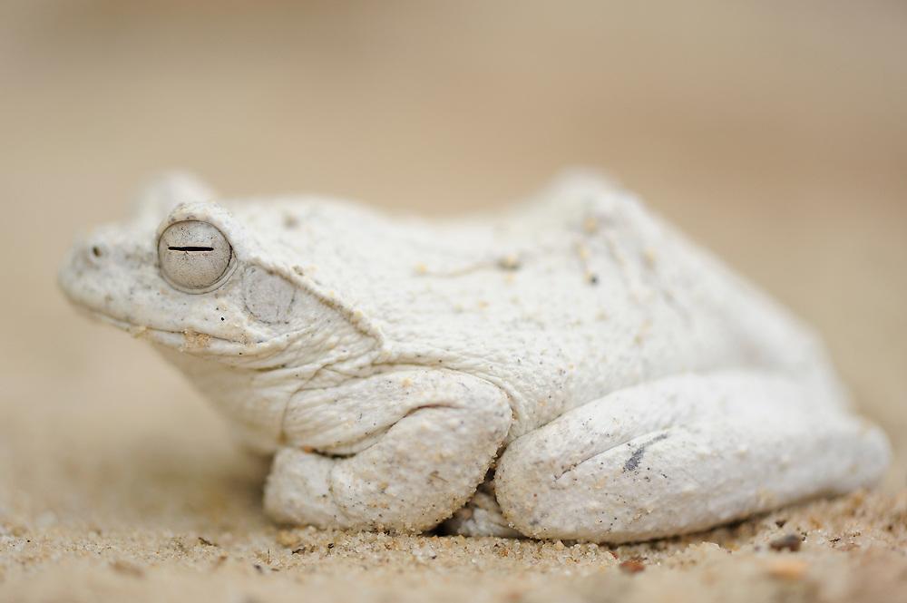 Foamnest frog, Chiromantis rufescens, Hwange National Park, Zimbabwe