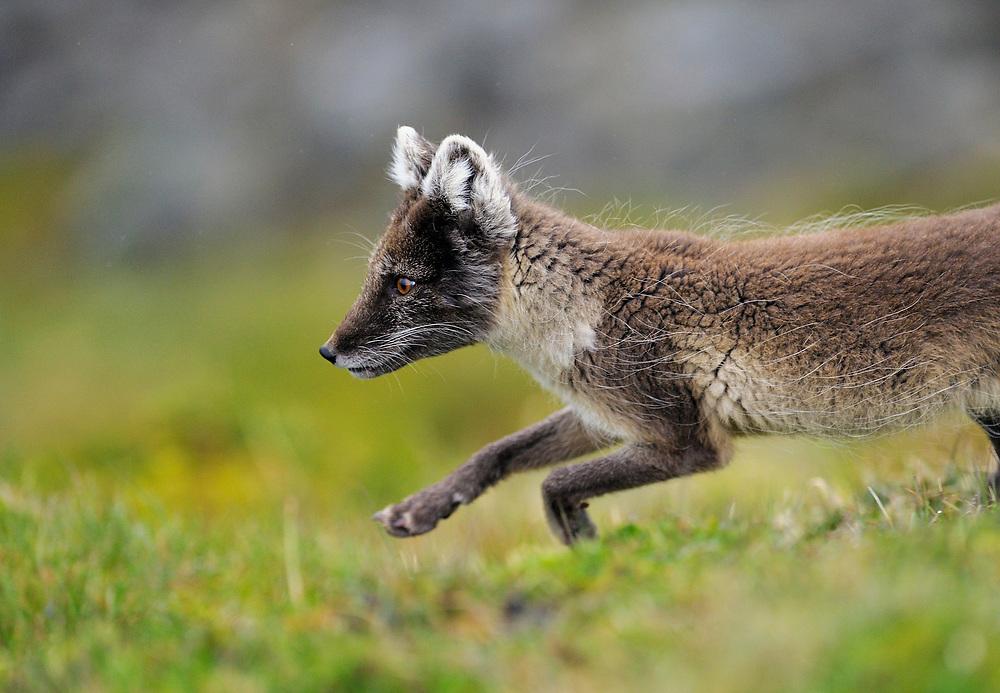 Arctic fox, Alopex lagopus, Svalbard, Norway