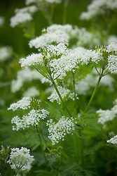 Myrrhis odorata - Sweet Cicely