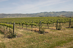 California, San Luis Obispo County: Grape fields at Edna Valley Vineyard, chardonnay..Photo caluis109-70732..Photo copyright Lee Foster, www.fostertravel.com, 510-549-2202, lee@fostertravel.com