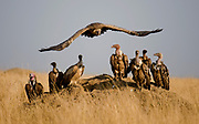 White-backed Vultures (Gyps africanus) and Ruppell's Griffon Vultures (Gyps ruppellii) resting on an old termite mound after a meal on the savannah of Maasai Mara, Kenya.