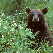Black Bear (Ursus americanus). A portrait of a cinnamon sow near blooming wildflowers during the summer in Minnesota.