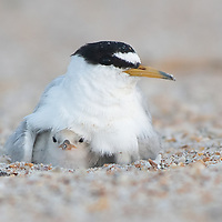 Least Tern and chick. Newborn chick taking a peek into the world while hiding under the parent's feathers.